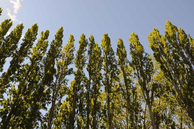 ¿Cuál es la diferencia entre árboles de hoja perenne y coníferas?