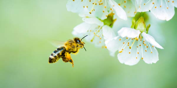 Trees for Bees and Other Pollinatorss - The Arbor Day Foundation