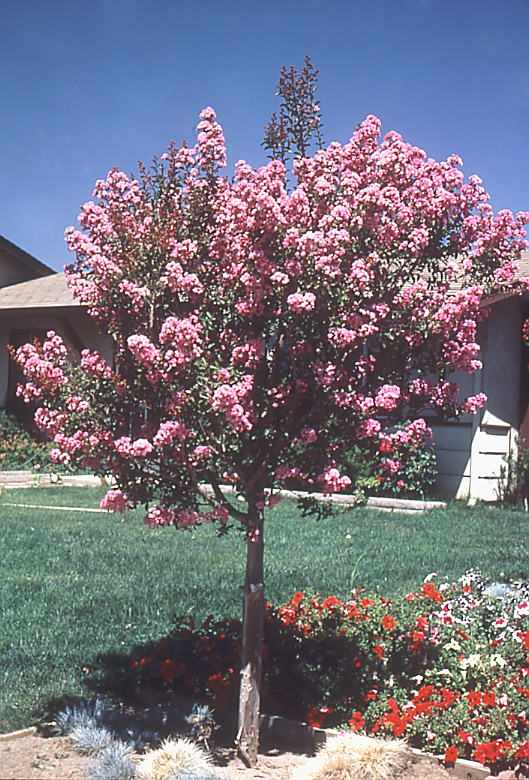 Celebrate the New Year with 10 free flowering trees by joining the Arbor Day Foundation