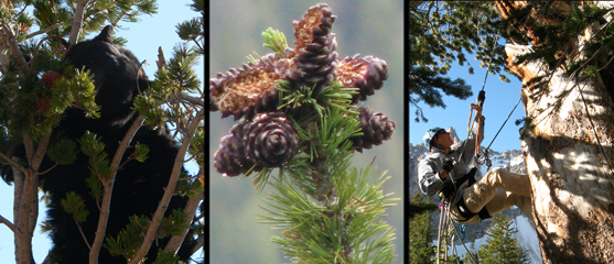Greater Yellowstone Whitebark Pine Committee—Ennis, Montana