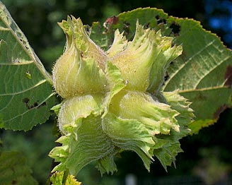 American Hazelnut fruits