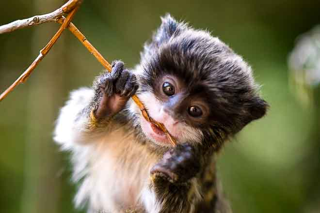 Image of: Tropical Rainforest Rain Forest Animals Baby Emperor Tamarin Leopard Arbor Day Foundation Rain Forest Rescue