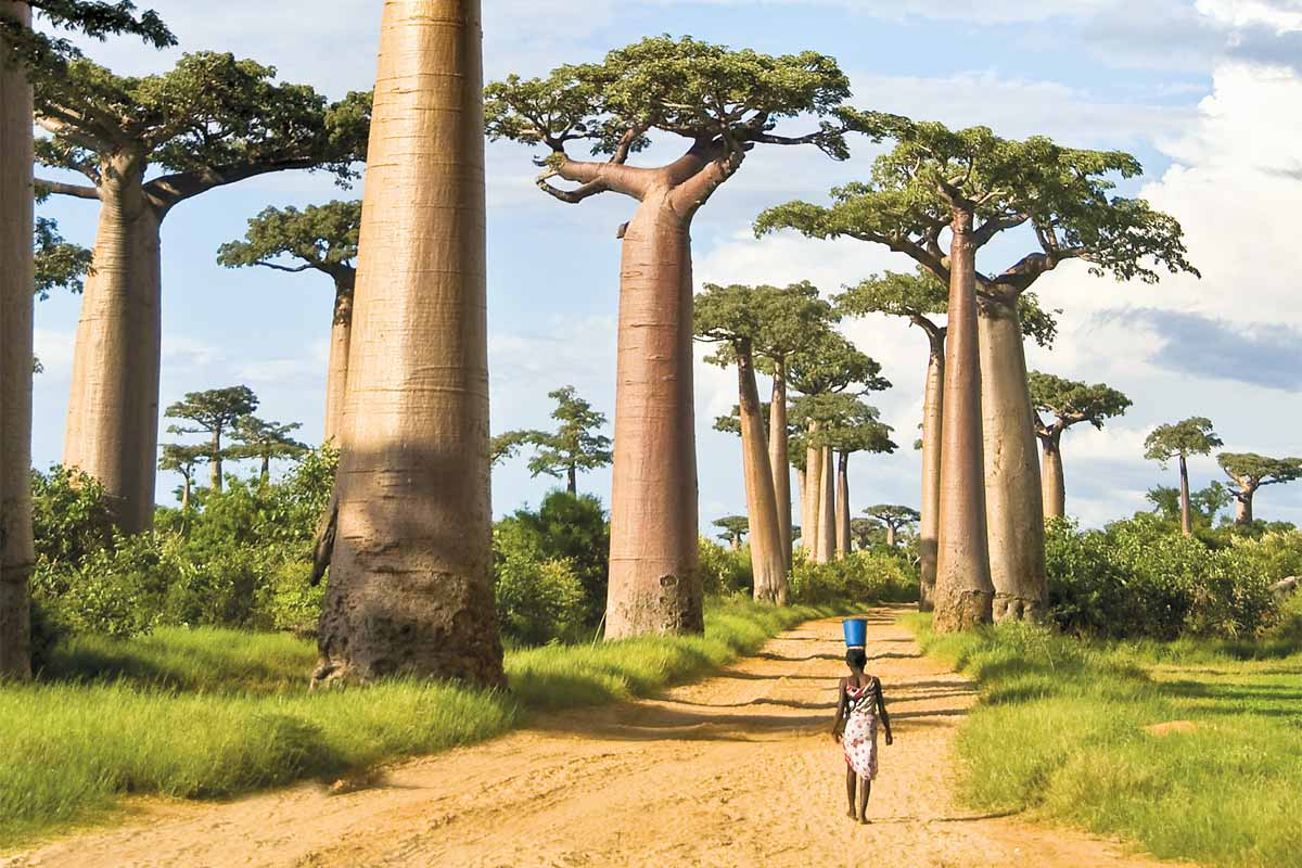 Image result for trees in madagascar