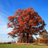 Oak Trees Arborday Org