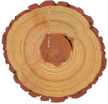 Counting Oak Tree Rings