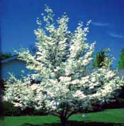 Dogwood, White—Cornus florida