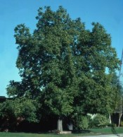 Walnut, Carpathian English—Juglans regia 'Carpathian'