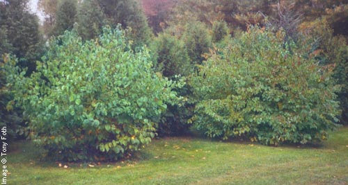 American Hazelnut Growth Rate http://www.arborday.org/trees/treeguide/treeImages.cfm?ID=106