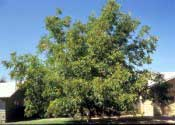 Butternut (White Walnut)—Juglans cinerea