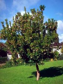Strawberry Tree—Arbutus unedo