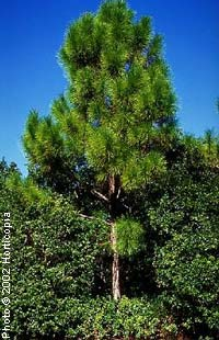 Pine, Slash—Pinus elliottii