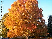 Maple, Sugar—Acer saccharum