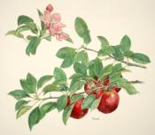 Apple, Stayman Winesap—Malus x domestica