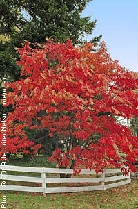 Sourwood—Oxydendrum arboreum