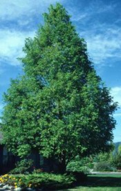 Redwood, Dawn—Metasequoia glyptostroboides