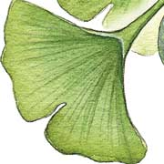 Ginkgo, (Maidenhair Tree)