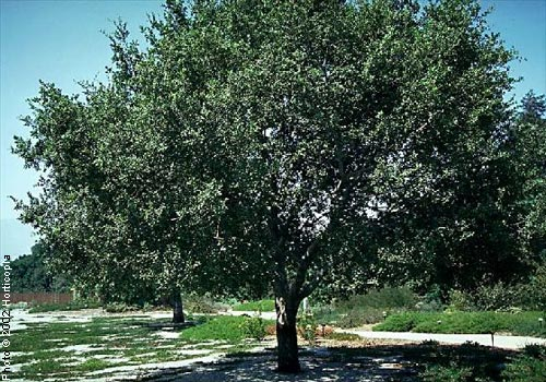 Oak, Holly—Quercus ilex