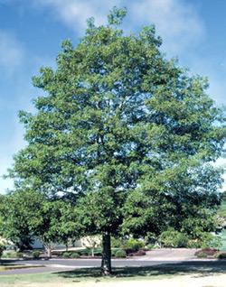 Oak, White—Quercus alba