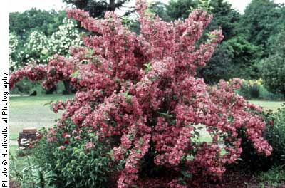 Weigela, Old Fashioned—Weigela florida
