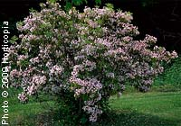 Mountain-Laurel—Kalmia latifolia