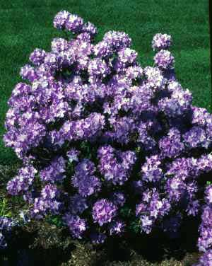 Rhododendron, Purple—Rhododendron catawbiense
