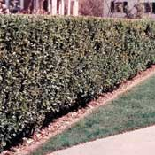 Privet, North—Ligustrum x ibolium