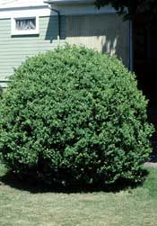 Boxwood (Common)—Buxus sempervirens