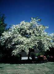 Silverbell, Carolina Halesia tetraptera