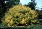 Witchhazel, Common—Hammamelis virginiana