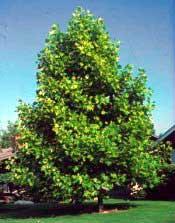 Tuliptree (Yellow Poplar)—Liriodendron tulipifera