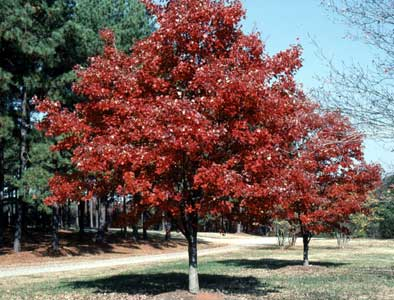 Maple, 'October Glory'—Acer rubrum 'October Glory'