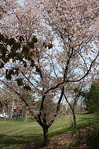 Cherry, Autumn Flowering Higan—Prunus subhirtella 'Autumnalis'