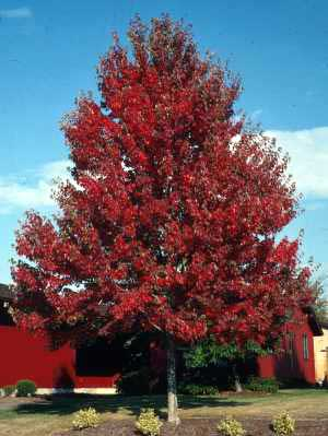 Maple, Red—Acer rubrum