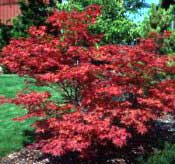 Maple, Japanese Red—Acer palmatum var. atropurpureum