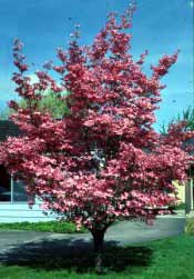Dogwood, Red—Cornus florida 'Rubra'