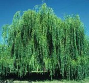 Willow, Weeping—Salix babylonica