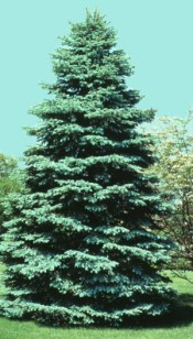 Spruce, Colorado Blue—Picea pungens