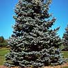 Spruce, Colorado Blue