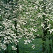 Dogwood, Cloud 9—Cornus florida 'Cloud 9'