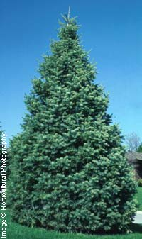 Fir, White  (Concolor Fir)—Abies concolor