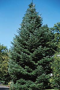 Fir, Noble—Abies procera