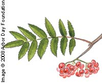 Mountainash, European—Sorbus aucuparia