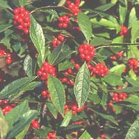 Winterberry Holly—Ilex Verticillata 'Winter Red'