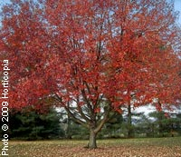 Maple, 'Red Sunset'—Acer rubrum 'Franksred'