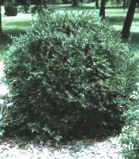 Boxwood (Korean)—Buxus sinica var. insularis