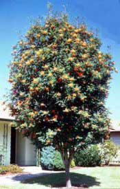 Mountainash, American—Sorbus americana