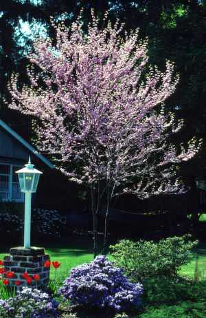 Redbud, Eastern—Cercis canadensis
