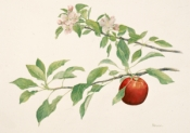 Apple, Red Jonathan—Malus x domestica