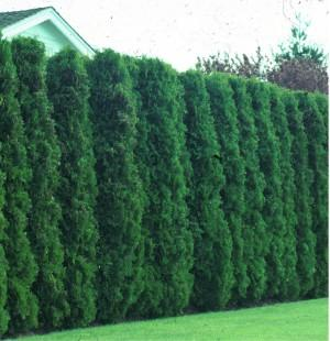 Arborvitae, American—Thuja occidentalis