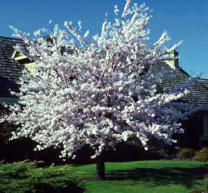 Cherry, Japanese Flowering (Yoshino)—Prunus x yedoensis